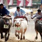 งานประเพณีวิ่งควายจังหวัดชลบุรี 2557