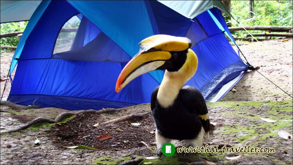 แจ๋วแหว๋ว นกเงือก สัญลักษณ์คู่ อุทยานแห่งชาติทองผาภูมิ