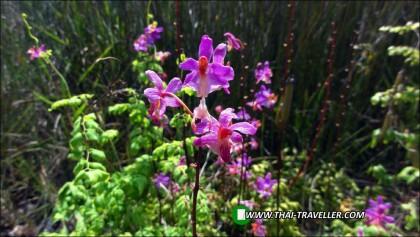 ทุ่งโนนสน ยลดอกไม้งามใจกลางอุทยานแห่งชาติทุ่งแสลงหลวง