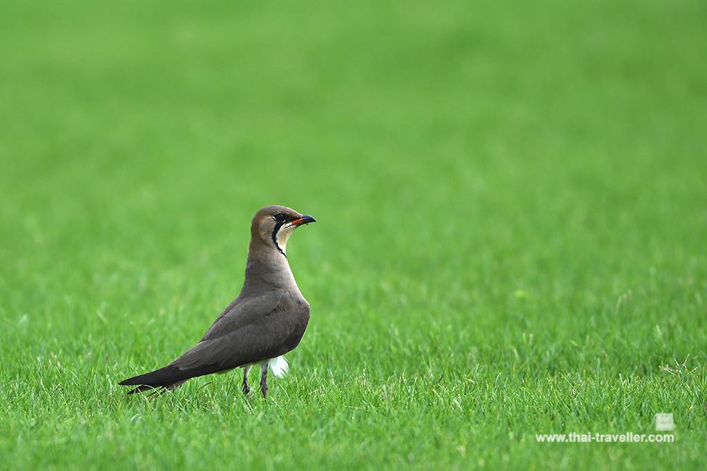 นกน้อย ในสวนของท่านนักกล์อฟ