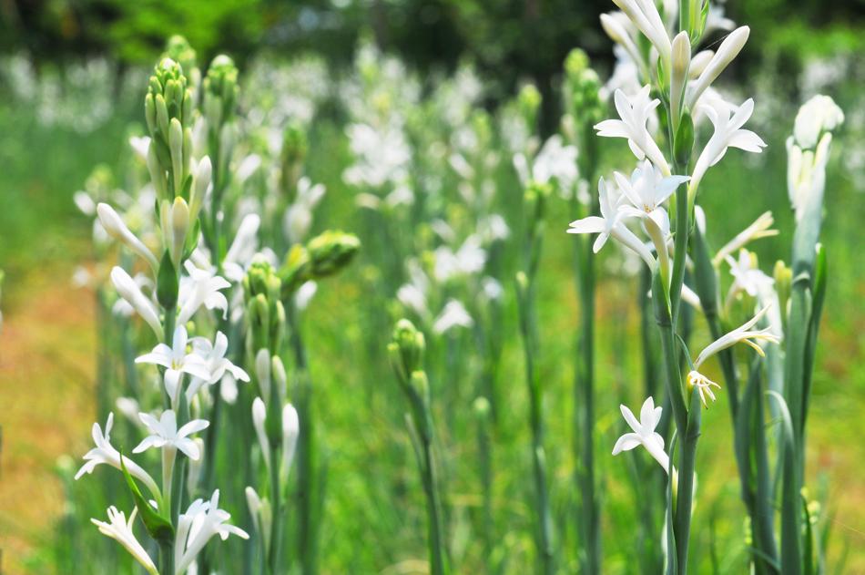 ดอกข้าวหรือดอกซ่อนกลิ่น | โฮมสเตย์ศิลา จ.ขอนแก่น