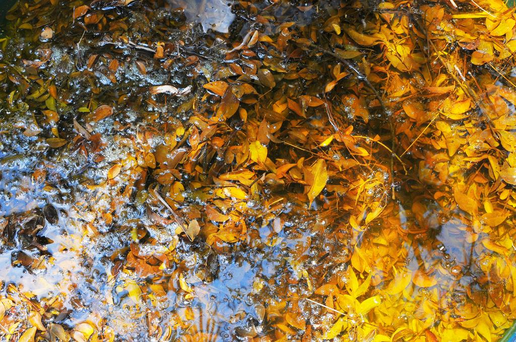 ใบไม้จากต้นเหมือดแอเอามาหมักทำสีย้อมผ้า  บ้านดอนข่า