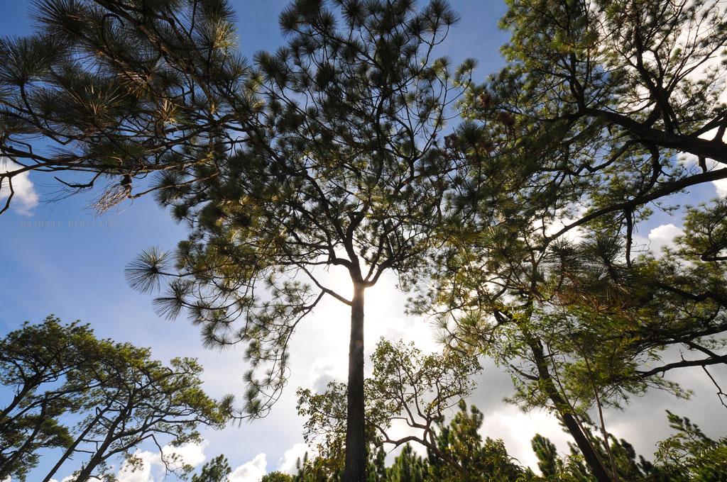 สิ่งที่เห็นครั้งแรกเมื่อโผล่หน้าขึ้นไปบนหลังแปคือป่าสน