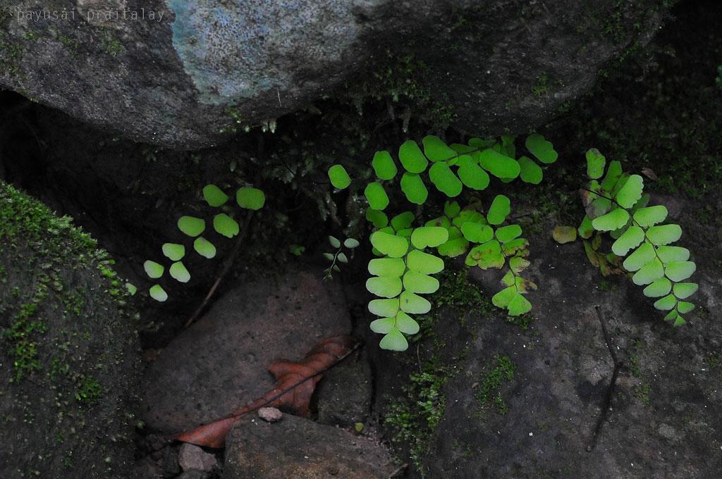 เฟิร์นก้านดำในซอกหิน  ภูกระดึงหน้าฝน (Phukradueng Wakeup Run)