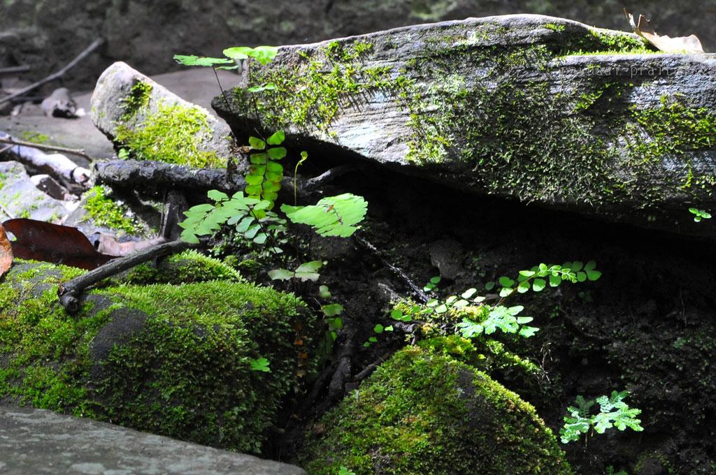 มอส เฟิร์น เจริญเติบดตบนแผ่นหิน แสดงให้เห้นถึงความชุ่มชื้นตลอดสองข้างทาง  ภูกระดึงหน้าฝน (Phukradueng Wakeup Run)