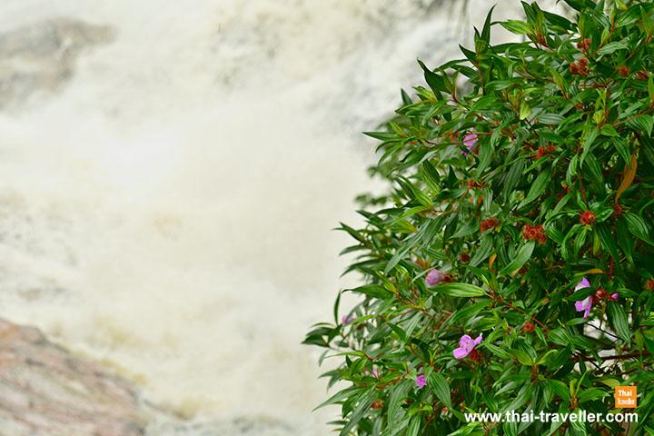 ไม้ป่าสีม่วงกับสายน้ำตก | น้ำตกโตนงาช้าง