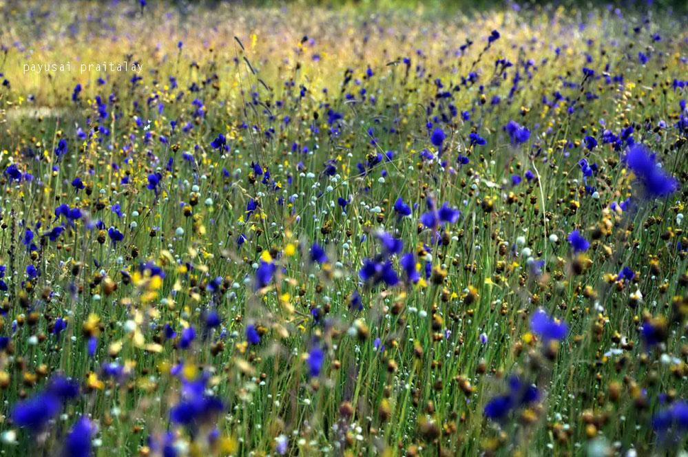 ดอกไม้ฤดูเดียวบางจุดออกดอกรวมกันอยู่หลายสายพันธุ์ สร้างสีสันให้ลานหินงดงาม(ลานหินน้ำตกสร้อยสวรรค์)