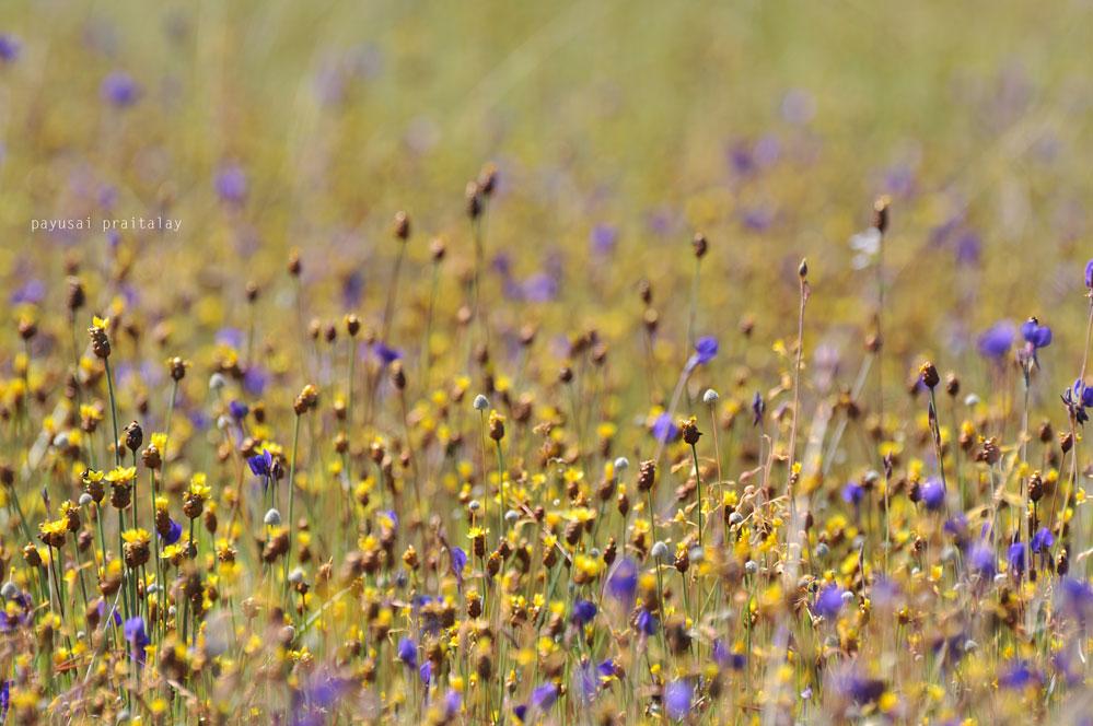ดอกหญ้าบัวหรือกฐินทุ่ง
