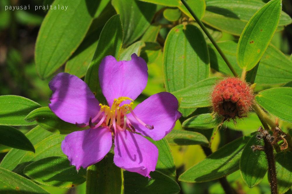 นอกจากดอกไม้ฤดูเดียวดังกล่าว เรายังได้พบดอกไม้อื่นๆ อีกมากมาย เช่น โคลงเคลง หญ้าไก้โอก ฝ้ายป่า (ในภาพคือโคลงเคลง)