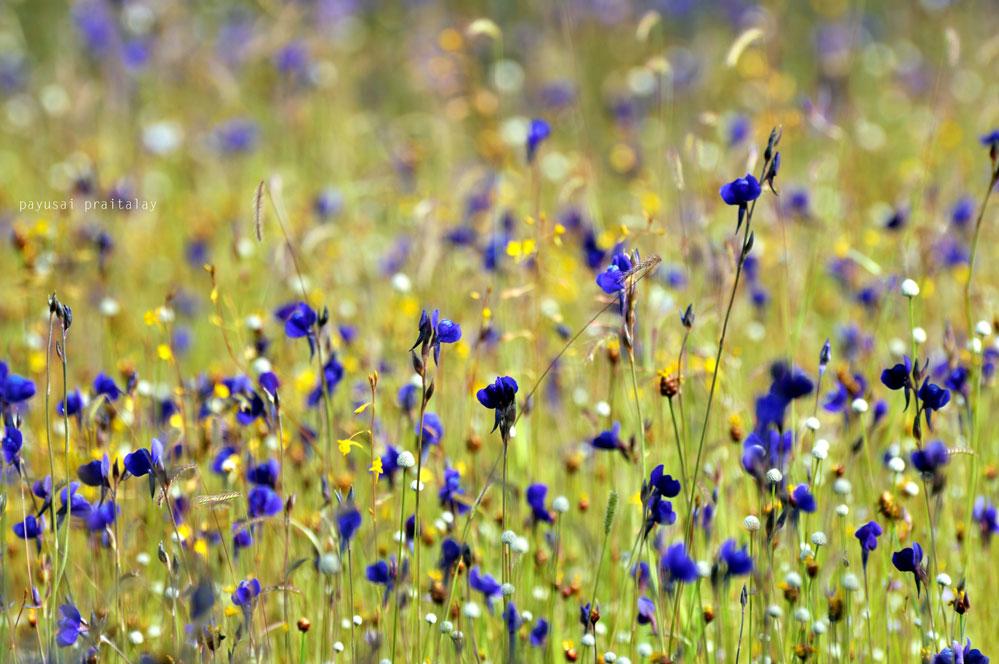 ดอกดุสิตาหรือหญ้าข้าวก่ำน้อย มีกระดุมเงินกับสร้อยสุวรรณาแซมแทรกอยู่ด้วย (ลานหินน้ำตกสร้อยสวรรค์)